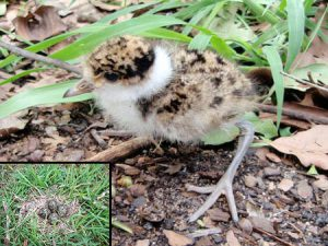 Plover chick and egg